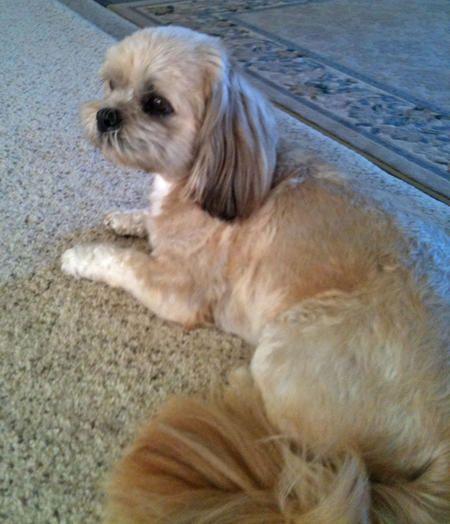 Shih Tzu Boxer Mixed Dogs Lulu The