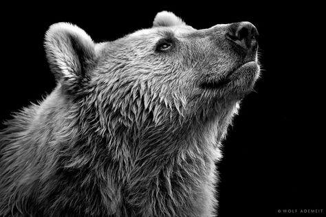 Photo Noir Et Blanc De La Série Des Animaux Wolf Ademeit - Powerful and intimate black white animal portraits by luke holas