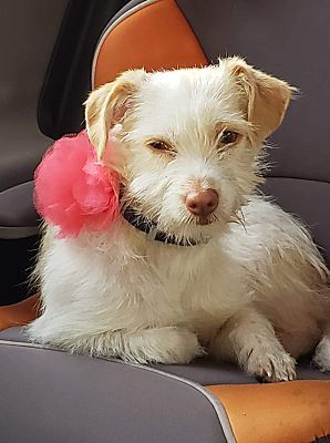 Encino Ca Puppy Terrier Unknown Type Small Meet Emma A Pet