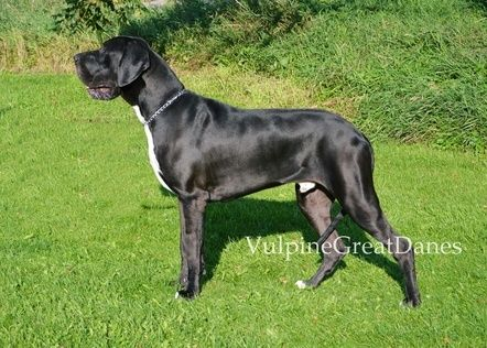 Pin On Black Great Danes