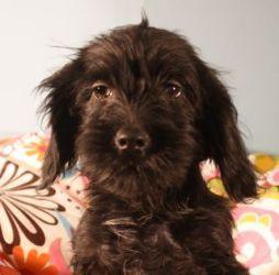 Adopt Calla Carly And Ceecee On Bichon Frise Pets Adoption
