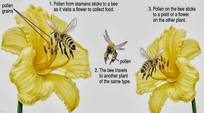 Cross Pollination Pollination Insect Pollinators Bee