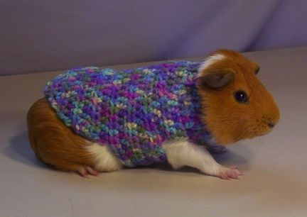 Guinea Pig learns to knit, makes own sweater... okay, maybe not. : )