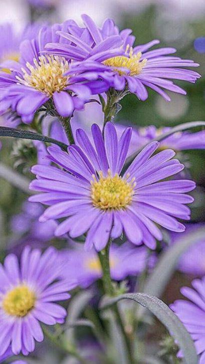 Aster Flower In 2020 Aster Flower Flowers For Sale Birthday Flowers Arrangements