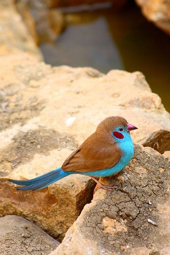 The Red-cheeked Cordon-bleu (Uraeginthus bengalus) is a small passerine bird. This estrildid finch is a resident breeding bird in drier regions of tropical sub-Saharan Africa. Red-cheeked Cordon-bleu has an estimated global extent of occurrence of Kinds Of Birds, All Birds, Little Birds, Love Birds, Angry Birds, Flying Birds, Pretty Birds, Beautiful Birds, Animals Beautiful