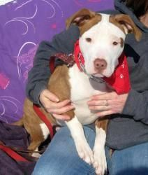 Pit Puppy Buck Pit Bull Terrier Dog Syracuse Ny I Have This