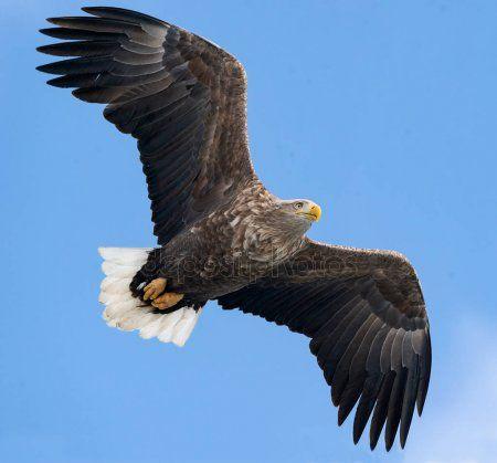 Erwachsenen White Tailed Adler Flug Uber Blauen Himmelshintergrund