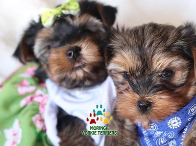 Available Yorkie Terrier Puppies Yorkie Puppies For Sale