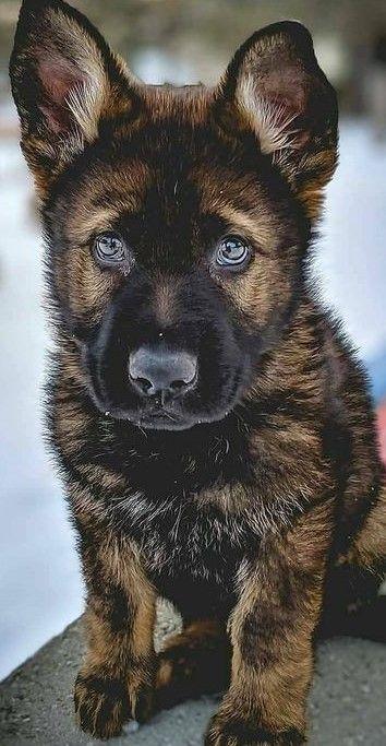Gyonyoruseg Germanshepherd Beautiful Dogs Cute Baby