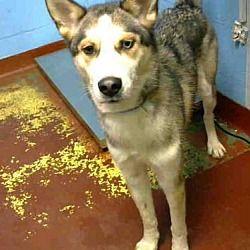 Atlanta Ga Urgent Layka Is A Lovely Young Female Husky