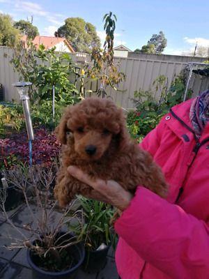 Area Australia Burnside Dogs Gumtree Kensington Poodles Puppies Tiny Toy Tiny Toy Poodles Dogs Puppie Poodle Dog Dogs And Puppies Tiny Toy Poodle