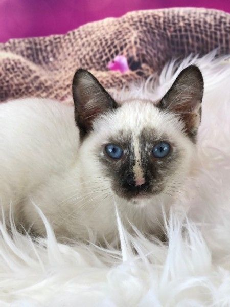 Siamese And Tortoiseshell Mixed Cat For Adoption In Houston Texas Delilah In Houston Texas Siamese Cats Cats