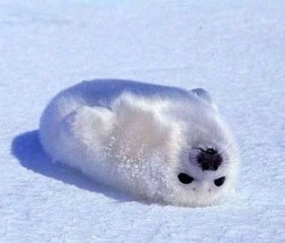 cute harp seal pups Okay yeah harp seal pups are really cute