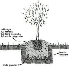 Olivier : plantation, taille et entretien de l\'olivier | jardin ...
