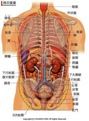 図 人体 内臓