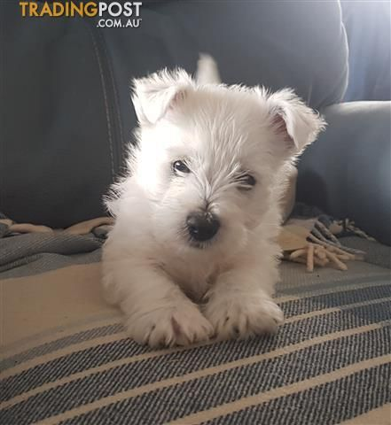 West Highland White Terrier Pups In 2020 White Terrier West Highland White Terrier West Highland White