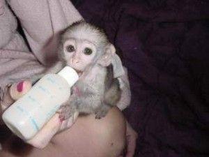 Cute Baby Capuchin Monkeys For Free Adoption Parkersburg Wv Asnclassifieds Capuchin Monkey Marmoset Monkey Monkeys For Sale
