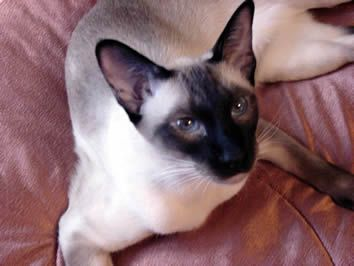 Siamese Cat Photo Gallery Suyaki Siamese Cattery Siamese Kittens For Sale In Florida Siamese Kittens Cattery Cat Photo