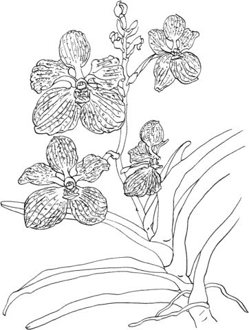Vanda Coerulea Or Blue Vanda Orchid Coloring Page Free Printable Coloring Pages Orchid Drawing Coloring Pages Orchids