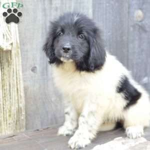 Dora Newfoundland Puppy For Sale In Ohio Newfoundland Puppies Cute Dogs Puppies