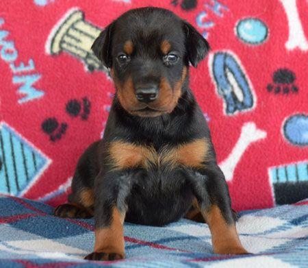 Doberman Puppies Born September 27 2019 Available 1 Black