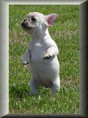 French Bulldog Sale If you are looking for a healthy, happy well-adjusted French bulldog you have come to the right place. Because we are small we offer high quality care for your new French bulldog puppy.