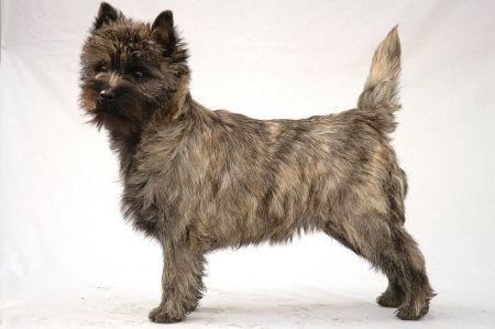 Scottish Dog Breeds Cairn Terrier Scottish Dog Breeds