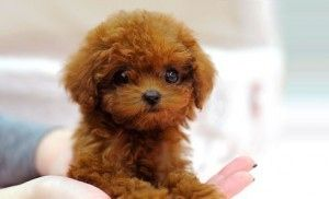 Healthy Toy Poodle Puppies For Sale Adoption From Bali Denpasar