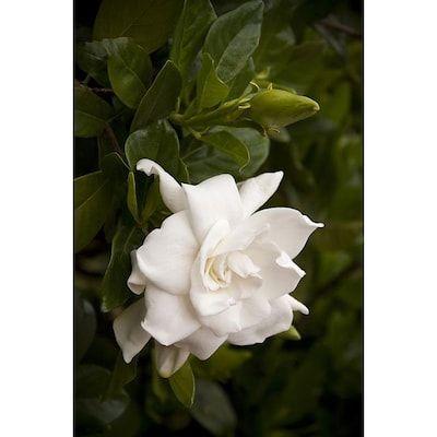 Monrovia White Everblooming Gardenia Flowering Shrub In Pot With