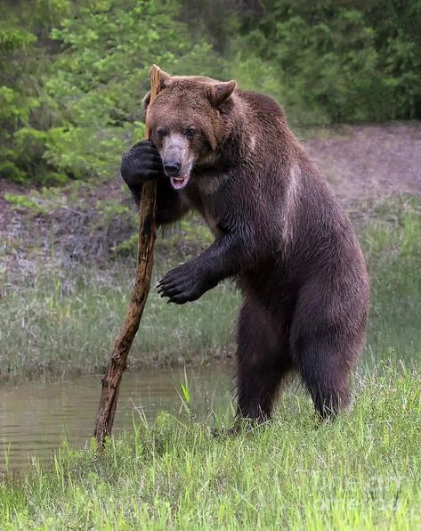 Bear Photograph - Use The Force by Art Cole