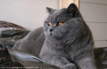 16 Trendy Cats Breeds Grey British Shorthair Cats Cat Breeds Ragdoll Cat Russian Blue Cat