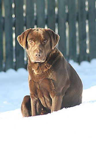 Labrador For Sale Essex You Need This Labradorlifespan