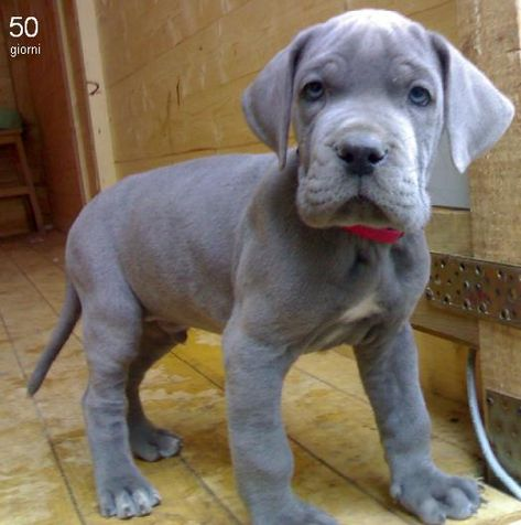 Great Dane Seriously look at those paws!!!