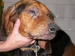 Sintomas de fiebre en los perros