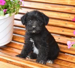 Price Under 300 Puppies Buckeye Animals