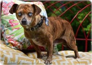 Chihuahua And Dachshund Mixed Dogs For Adoption Near Durham North