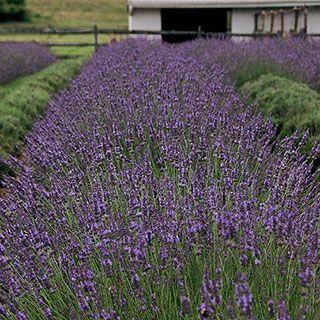 Lavandula Phenomenal Plants Planting Flowers Container Gardening