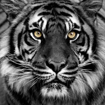 Toile Sur Chassis Tigre 57 X 57 Cm Castorama Madecocasto Castorama Tableau En Verre Animaux Animales