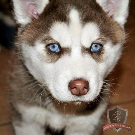 Siberian Husky Puppy Bella Siberian Husky Husky Puppy Husky Dogs