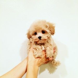 Teacup Maltipoo Puppy With Images Maltipoo Puppy Puppies