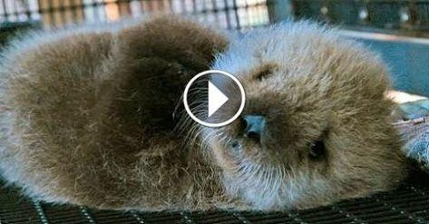 Orphan Sea Otter Super Cute Animals Super Cute Animals Sea Otter Otters
