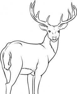 How To Draw A White Tailed Deer Intermediate Deer Drawing Deer Coloring Pages Forest Drawing