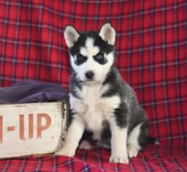 Pin By Personal On Cute Puppies For Sale In 2020 Husky Puppies