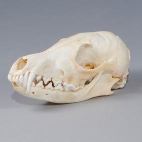 Fox Skull Fox Skull Animal Skulls Animal Drawings