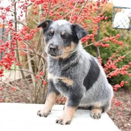 Ella Blue Heeler Puppy For Sale In Strasburg Pa Lancaster Puppies Blue Heeler Puppies Heeler Puppies Blue Heeler