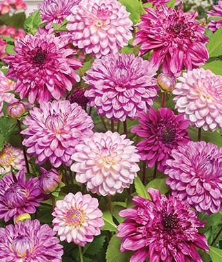 Dahlia Pink Flamboyance Collection Burpee Flower Seeds Seed Starting Soil Blooming Plants