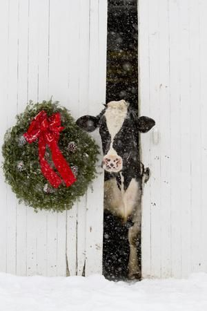 Saint Charles Christmas 2021 Holstein Cow In Snowstorm By Green Wreath And Red Ribbon St Charles Illinois Usa Photographic Print Lynn M Stone Allposters Com In 2021 Christmas Watercolor Christmas Art Christmas Animals