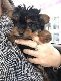 Malvin S Teacup Yorkie Puppies For Sale Tinny And Home Trained Teacup Yorkie Puppies F Teacup Yorkie Yorkie Puppy For Sale Teacup Yorkie Puppy