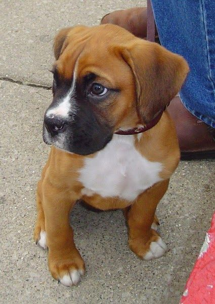 Training Of Miniature Boxer Hybrid Dog A Mix Of Boxer And Boston