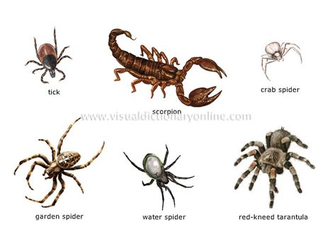 examples of arachnids image HSE Pinterest - examples of